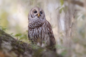 FL3626 Barred Owl