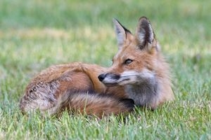 Red & Gray Fox Photographer Brunswick, ME
