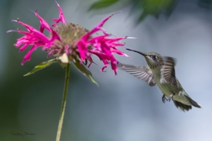 4499 Juvenile Male Ruby-Throated Hummingbird