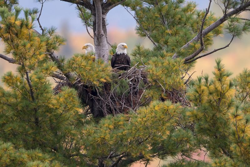 5034b-pair-of-bald-eagles-with-fall-color