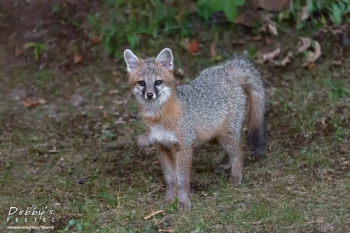 Red & Gray Foxes