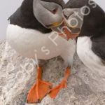 Common Puffins