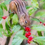 Chipmunk & Holly Berries