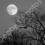 Super Moon & Hawk